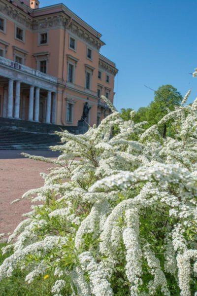 Весеннее цветение спиреи