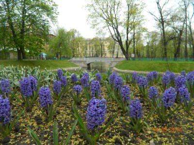 Михайловский сад гиацинты - Mikhailovsky Garden