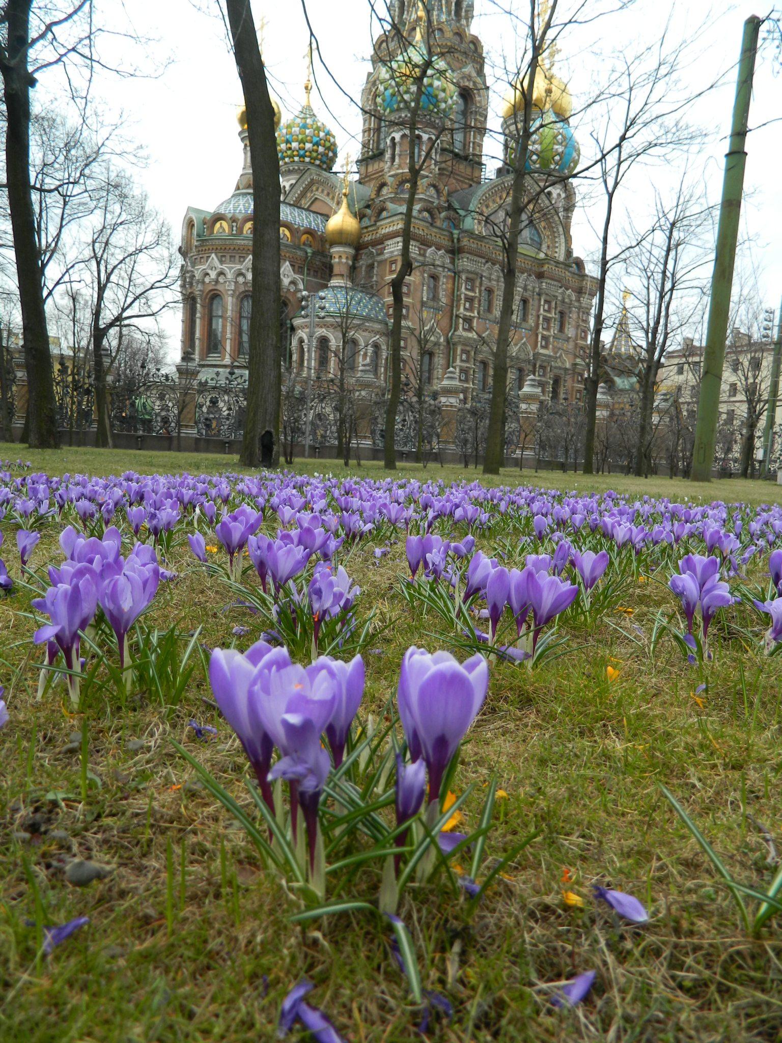 Михайловский сад - Крокусы - Mikhailovsky Garden