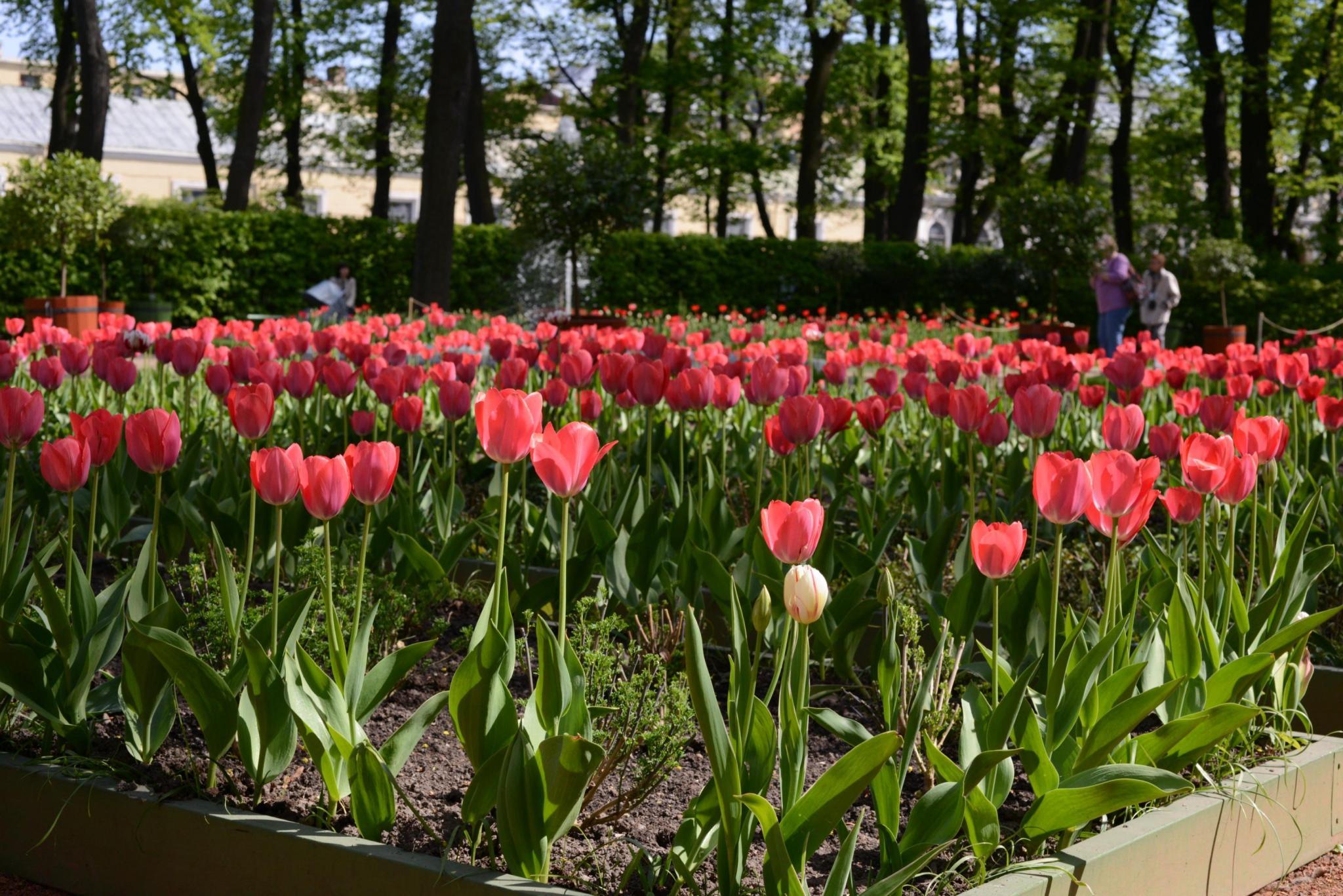 Тюльпаны в Летнем саду - Tulips in Summer garden
