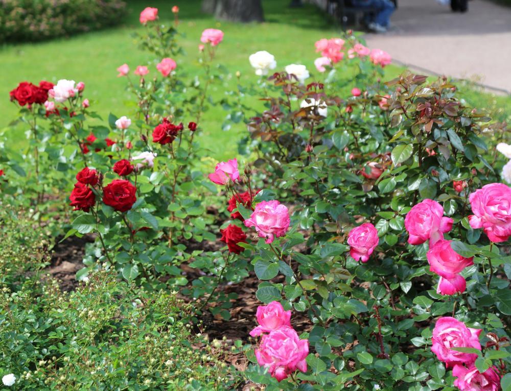 Розы в Михайловском саду