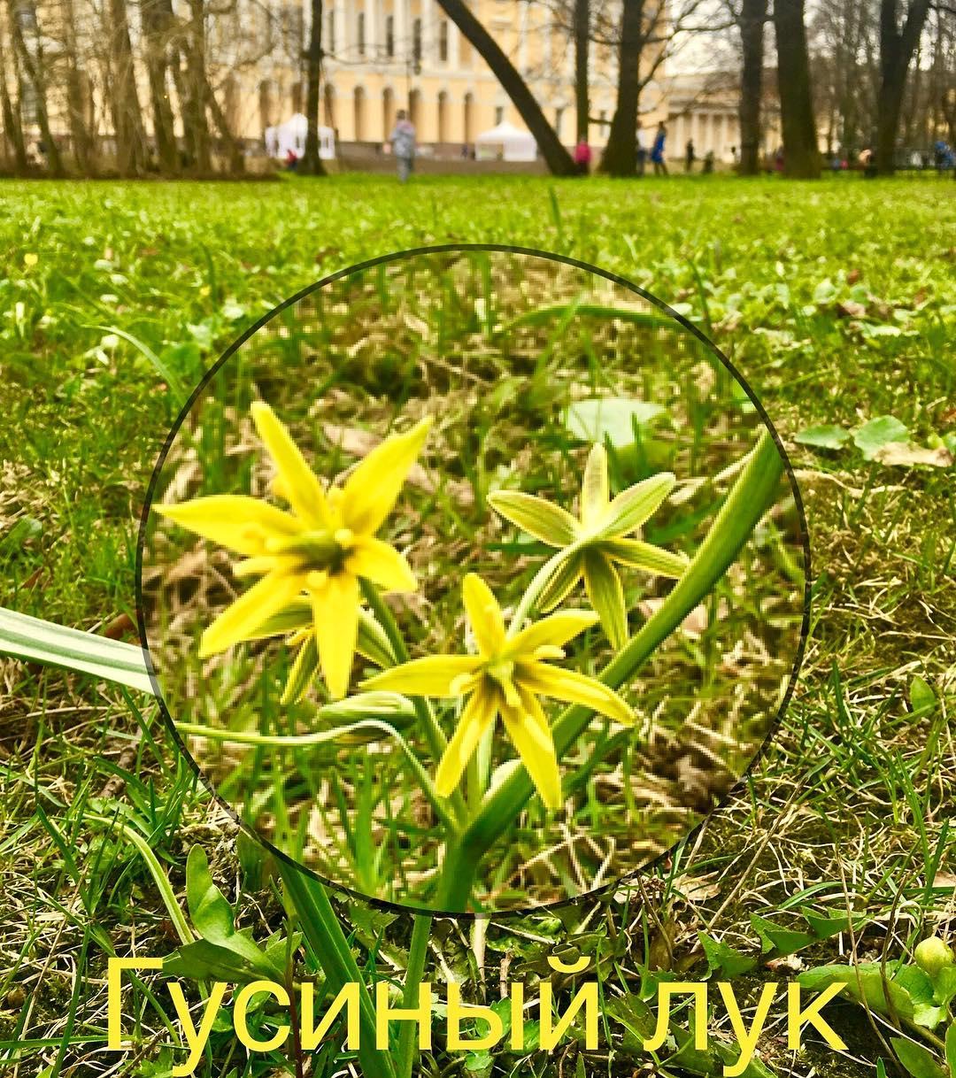 Гусиный лук в Михайловском саду
