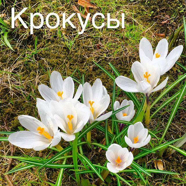 Крокусы в Михайловском саду