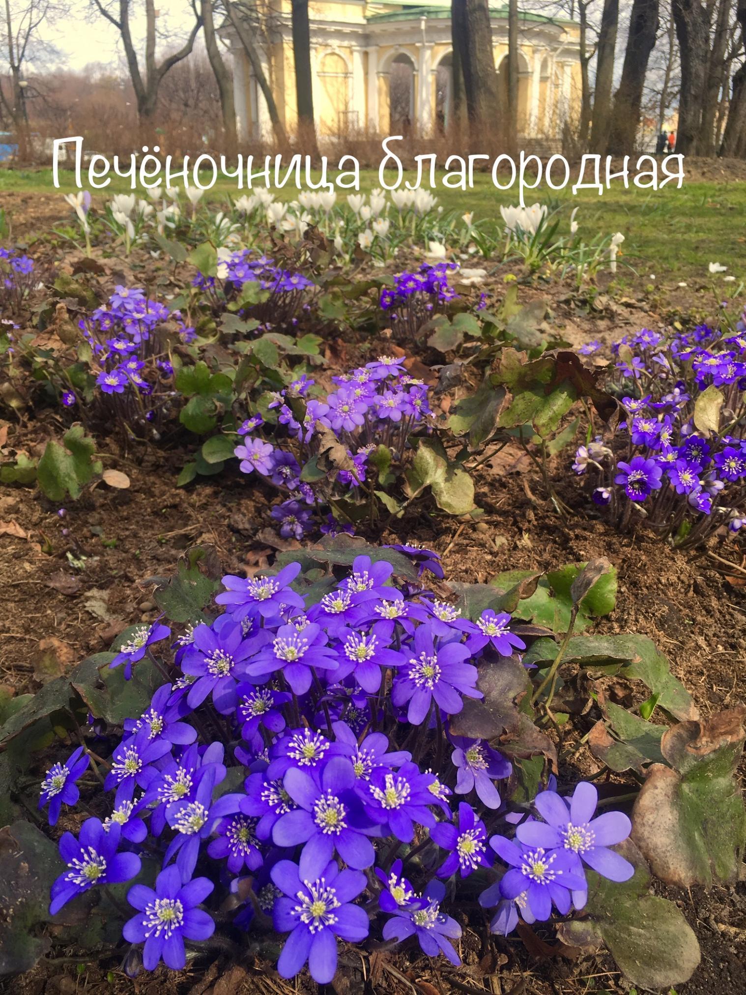 Печоночница благородная в Михайловском саду