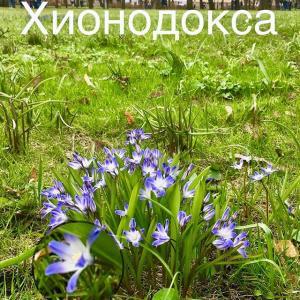Хионодокса в Михайловском саду