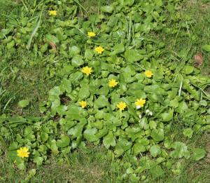 Чистяк весенний в Михайловском саду