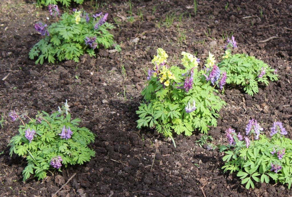 Хохлатки в Михайловском саду