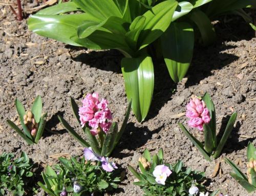ГИАЦИНТ ВОСТОЧНЫЙ ( (Hyacinthus orientalis)