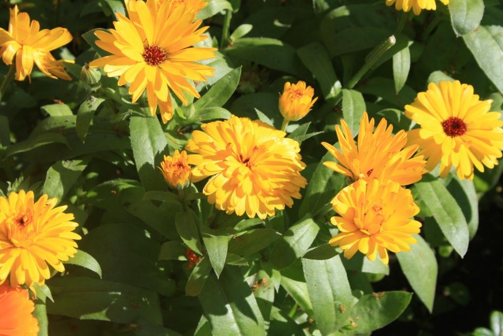 Календула лекарственная в Красном саду