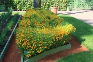 Бархотцы тонколистные, в Летнем саду
