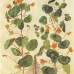 """Настурция большая — Tropaeolum majus L. в Летнем саду боскет """"Красный сад"""""""