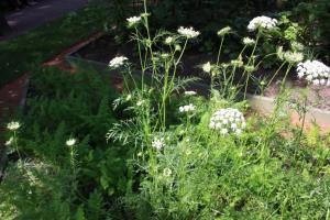 Морковь посевная. Летний сад. Боскет Красный сад.