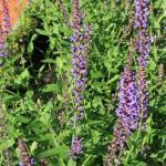 Шалфей луговой в боскете Красный сад в Летнем саду