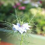Чернушка дамасская в боскете Красный сад. Летний сад .