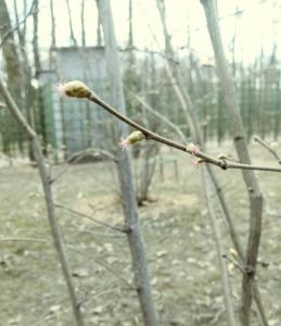 Ольховые сережки в Летнем саду 2019