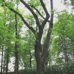 Дуб Петровского времени в Летнем саду