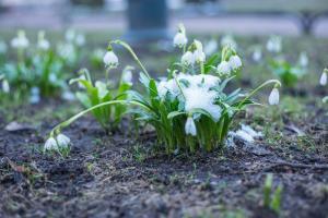 Первоцветы в Михайловском саду 2019