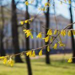 Форзиция в Михайловском саду 2019 апрель