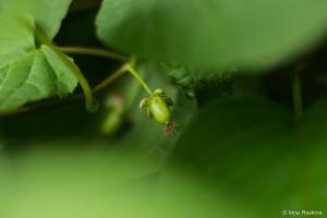 Актинидия коломикта в Летнем саду