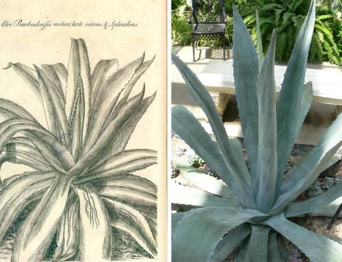 BOTANICAL RIDDLES – ALOE