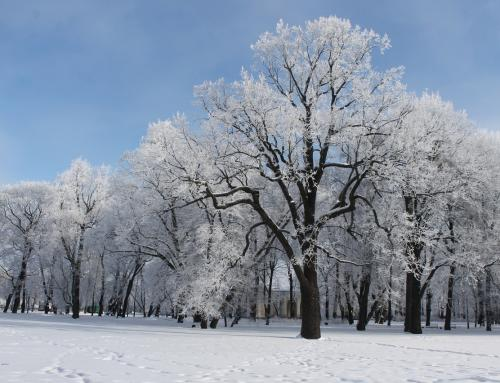 OAK IN MIKHAILOVSKY GARDEN
