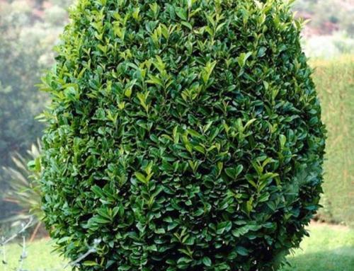 СЛИВА ЛАВРОВИШНЯ — Prunus laurocerasus L.